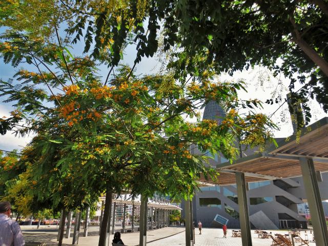 ティプアナ・ティプの花の季節_b0064411_00281323.jpg