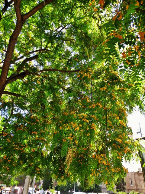 ティプアナ・ティプの花の季節_b0064411_00281355.jpg