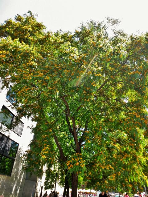 ティプアナ・ティプの花の季節_b0064411_00281370.jpg