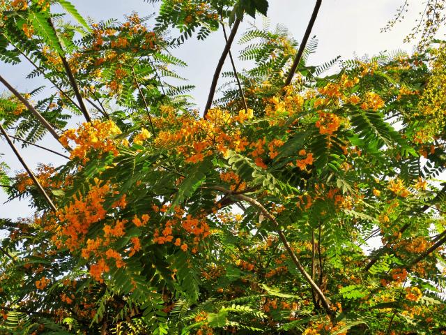 ティプアナ・ティプの花の季節_b0064411_00281385.jpg