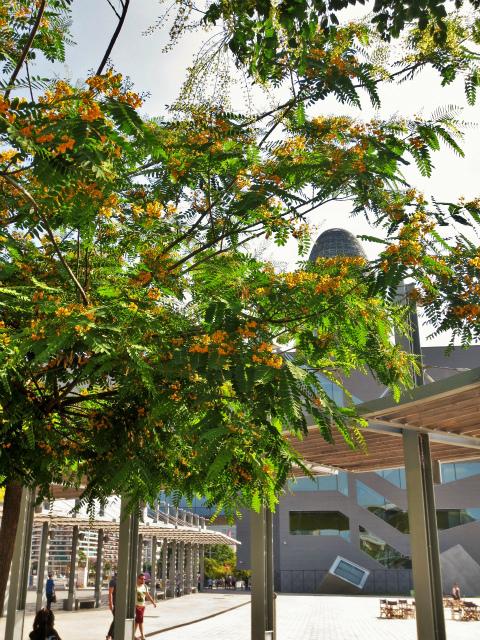 ティプアナ・ティプの花の季節_b0064411_00281406.jpg