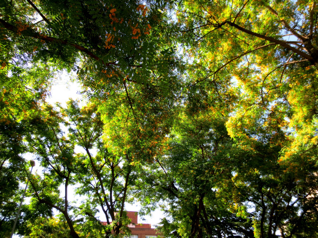 ティプアナ・ティプの花の季節_b0064411_00330824.jpg