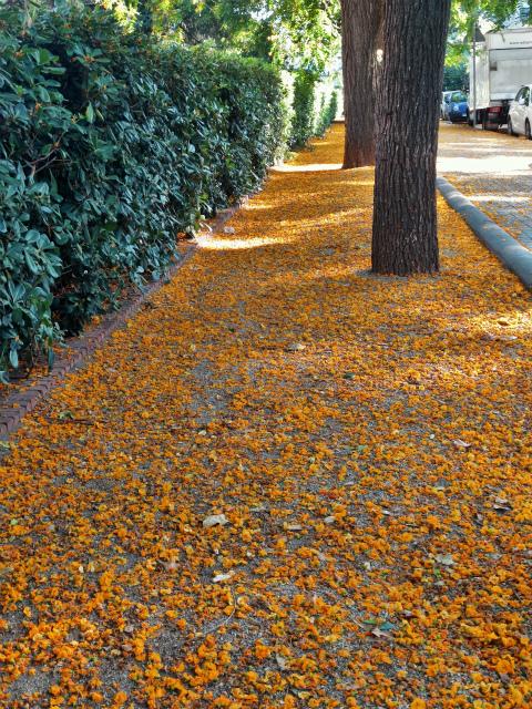 ティプアナ・ティプの花の季節_b0064411_00330887.jpg
