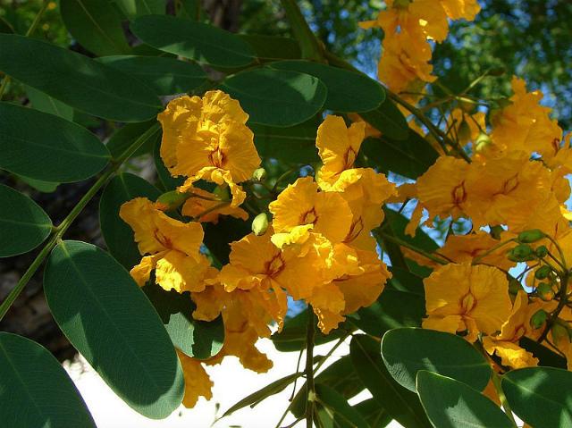 ティプアナ・ティプの花の季節_b0064411_00375345.jpg