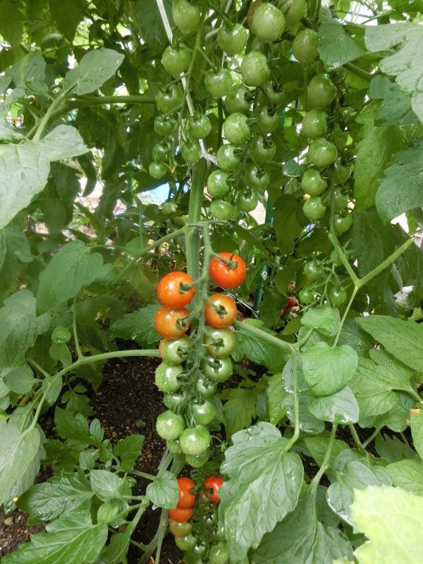 6月19日(金)収穫です_d0278912_22284526.jpg