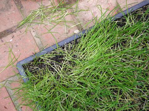 ネギ苗植え付けたが多数に根腐れ発生、収穫に不安6・17_c0014967_18595238.jpg