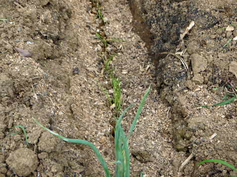 ネギ苗植え付けたが多数に根腐れ発生、収穫に不安6・17_c0014967_1904887.jpg