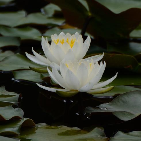 蛇の池の睡蓮_f0099102_16391520.jpg