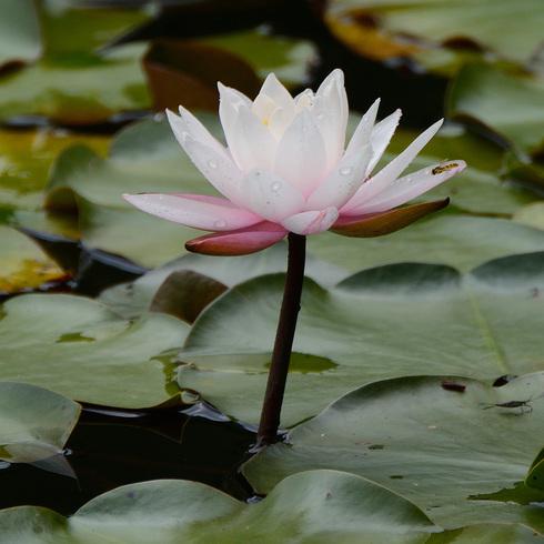 蛇の池の睡蓮_f0099102_16392153.jpg