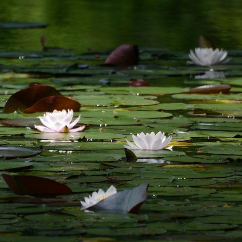 蛇の池の睡蓮_f0099102_16401094.jpg