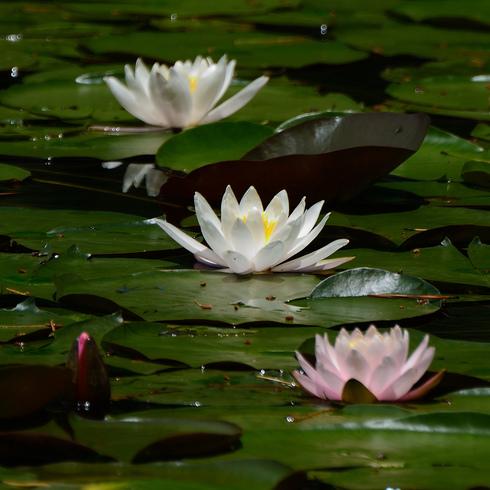 蛇の池の睡蓮_f0099102_16401427.jpg