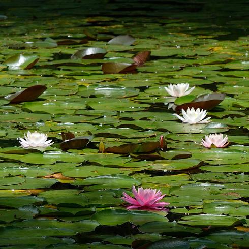 蛇の池の睡蓮_f0099102_16402716.jpg