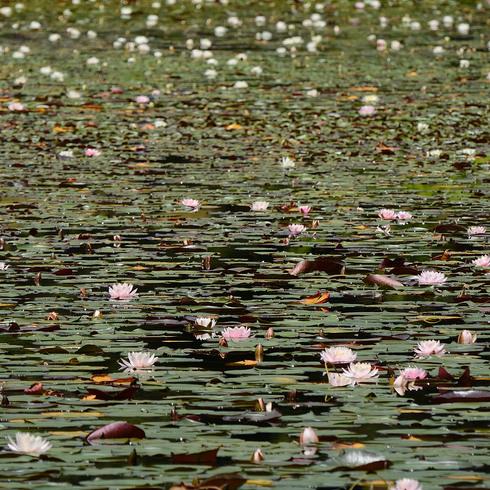 蛇の池の睡蓮_f0099102_1640378.jpg