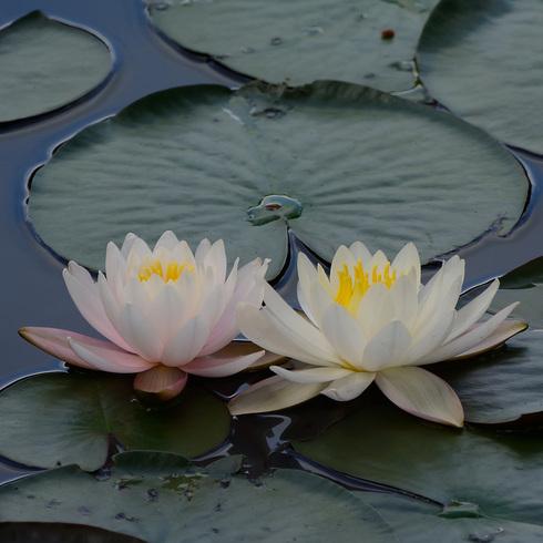 蛇の池の睡蓮_f0099102_1640461.jpg