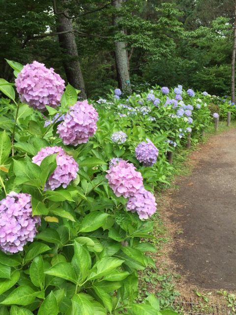 植物園の紫陽花_c0223630_22594254.jpg