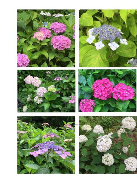 植物園の紫陽花_c0223630_22594271.jpg