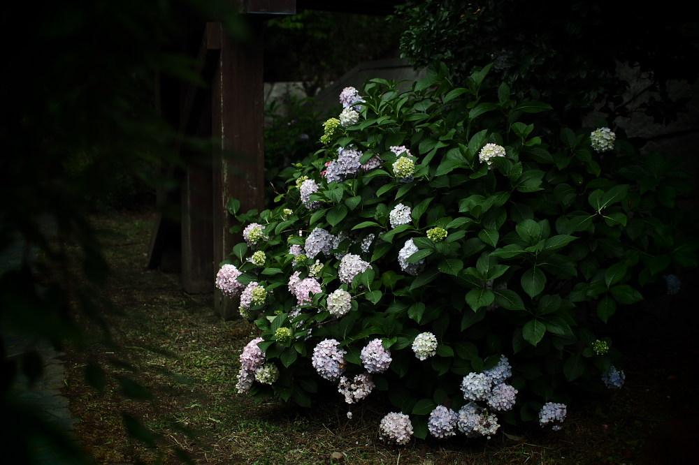 紫陽花 2015 <中書島界隈>                     _f0021869_2081227.jpg