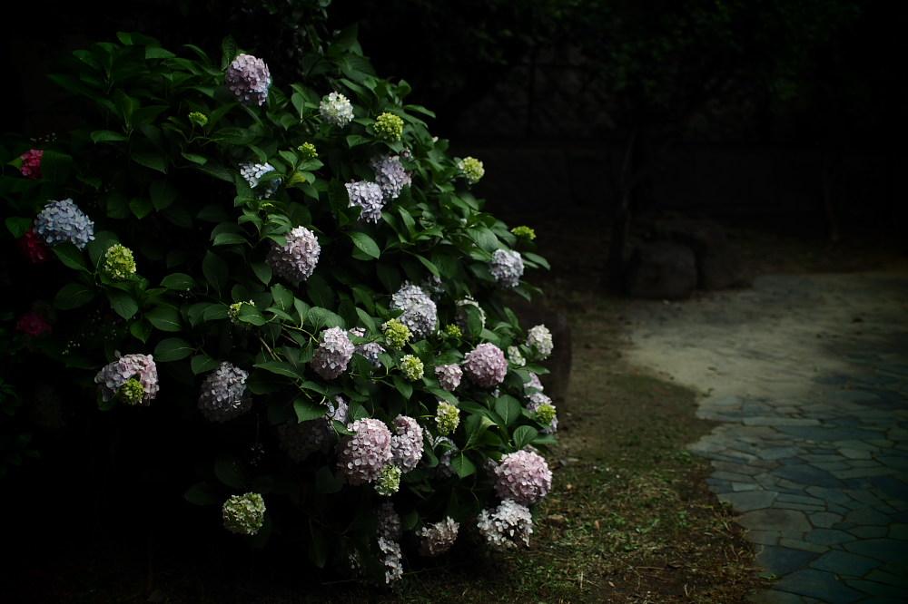 紫陽花 2015 <中書島界隈>                     _f0021869_2082220.jpg