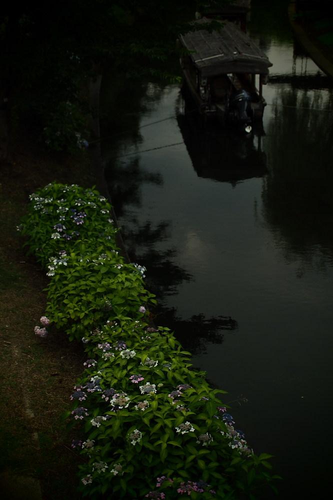 紫陽花 2015 <中書島界隈>                     _f0021869_209252.jpg
