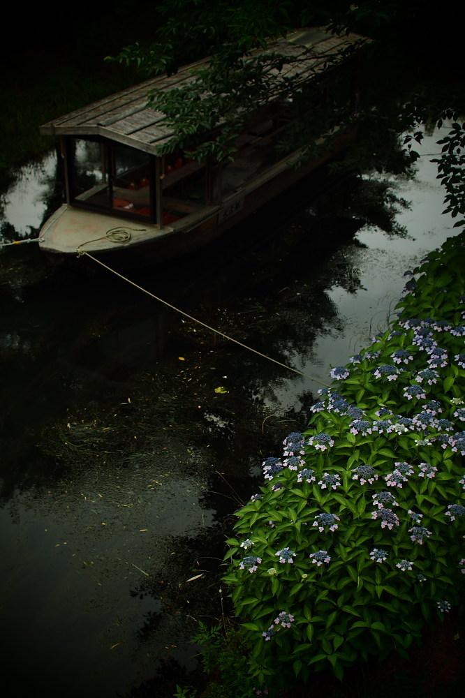 紫陽花 2015 <中書島界隈>                     _f0021869_2094472.jpg
