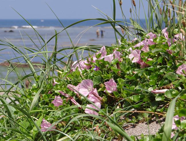 初夏の西海岸ドライブ。海と蕎麦畑の景色など~♪_a0136293_15525979.jpg