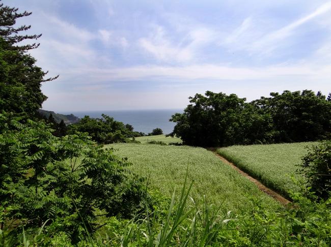 初夏の西海岸ドライブ。海と蕎麦畑の景色など~♪_a0136293_16182972.jpg