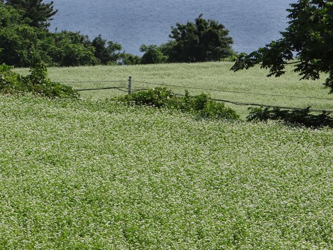 初夏の西海岸ドライブ。海と蕎麦畑の景色など~♪_a0136293_16184628.jpg