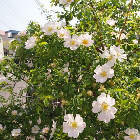 バラ、満開_a0292194_2327926.jpg