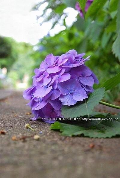 あじさい散歩*2015_d0083623_20155167.jpg