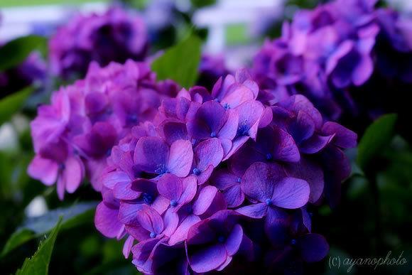 日本最古のてまり花、ホンアジサイ