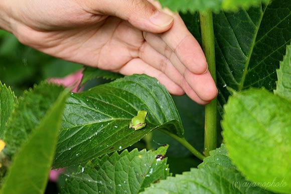 小指サイズのアマガエル