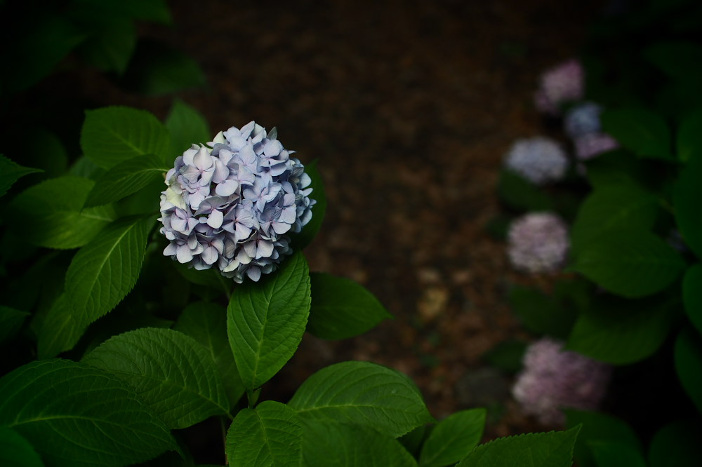 紫陽花 2015   <山田池公園>                     _f0021869_23483824.jpg