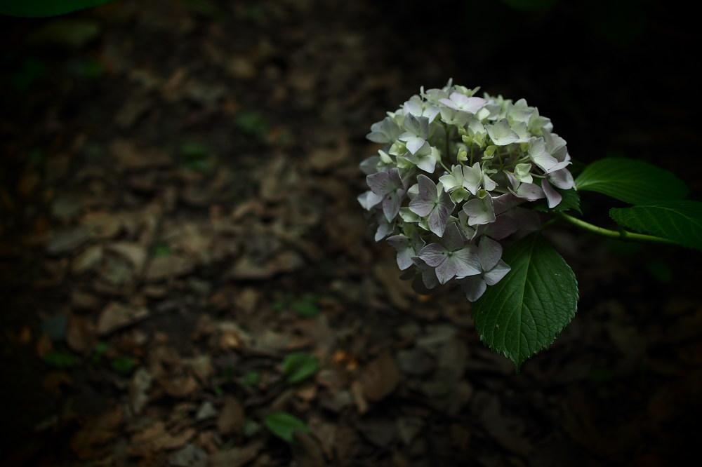 紫陽花 2015   <山田池公園>                     _f0021869_23484690.jpg