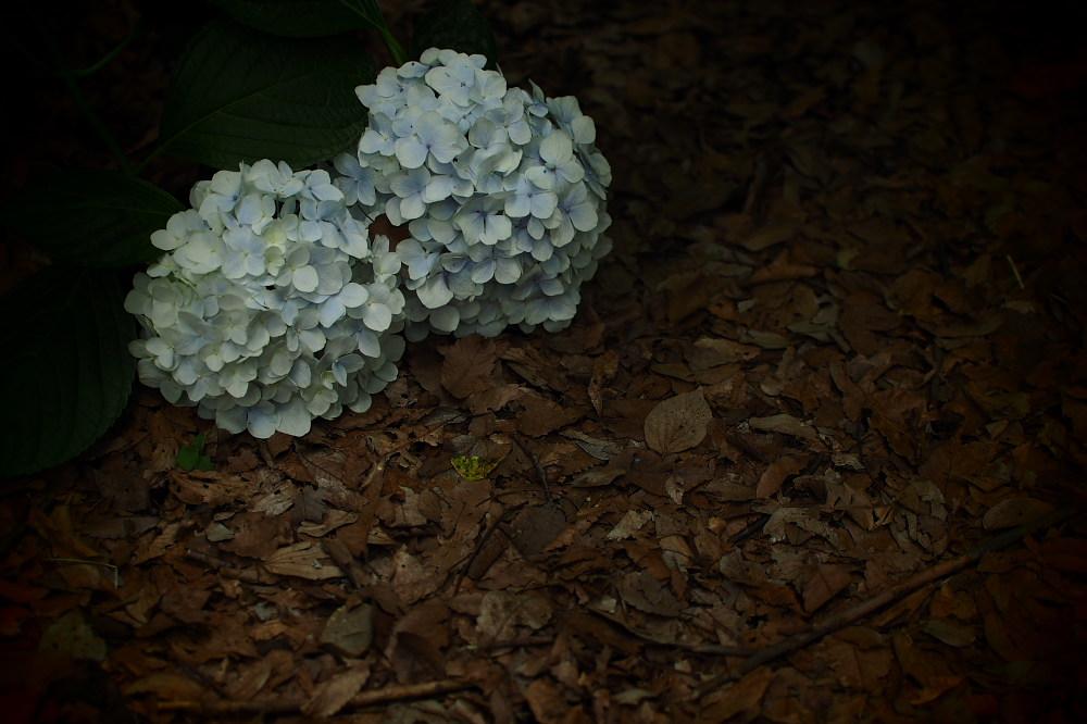 紫陽花 2015   <山田池公園>                     _f0021869_23491582.jpg