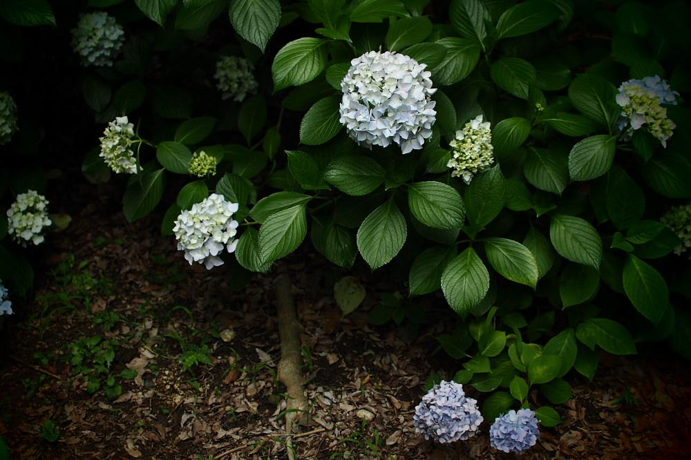 紫陽花 2015   <山田池公園>                     _f0021869_2349177.jpg