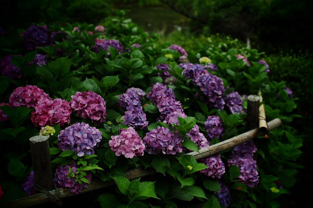 紫陽花 2015   <山田池公園>                     _f0021869_23502271.jpg