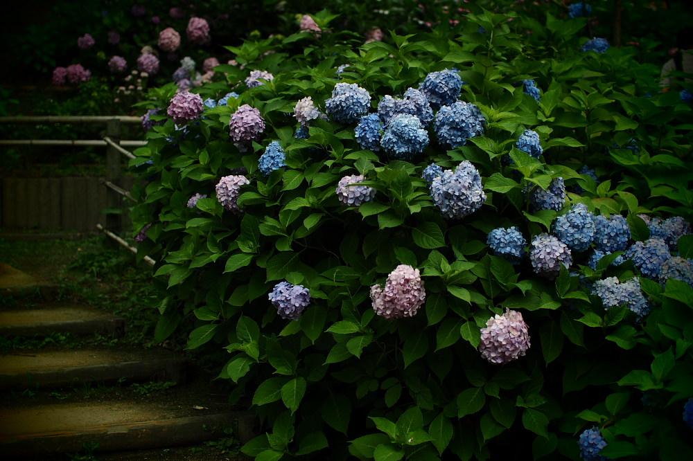 紫陽花 2015   <山田池公園>                     _f0021869_23503354.jpg
