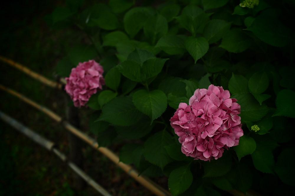 紫陽花 2015   <山田池公園>                     _f0021869_2350625.jpg