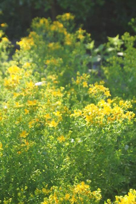 聖ヨハネの日はセントジョーンズワートの収穫日です_a0292194_1523265.jpg