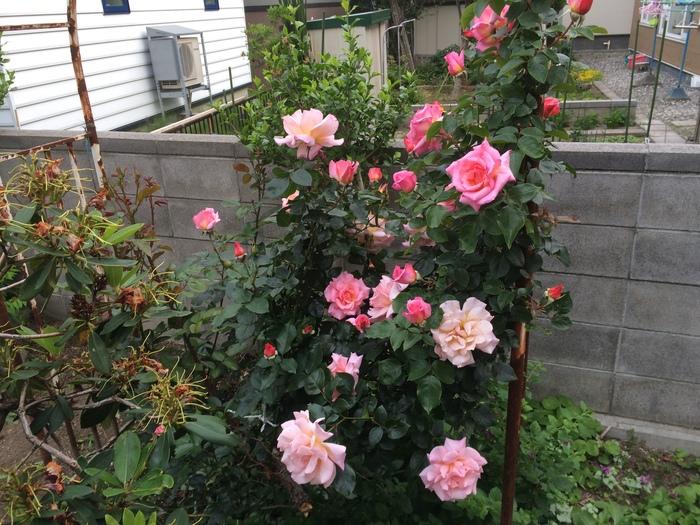 園芸男子  今日の収穫_c0226202_20202056.jpg