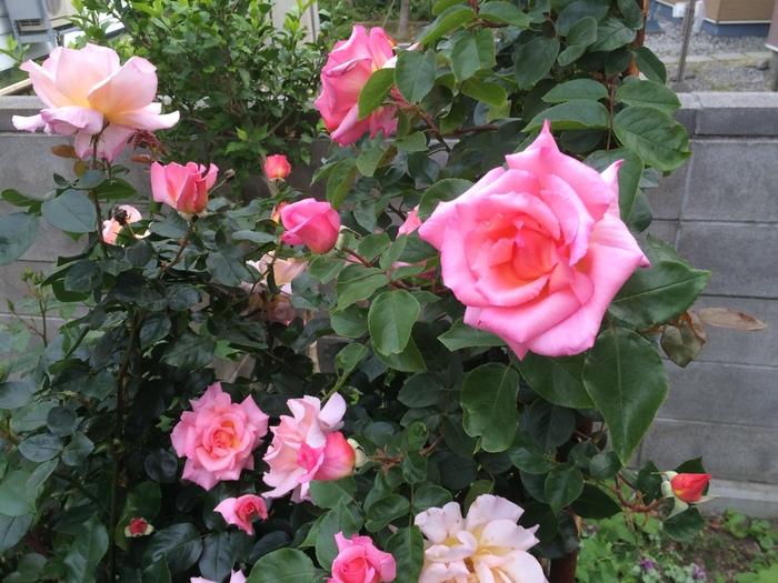 園芸男子  今日の収穫_c0226202_20204752.jpg