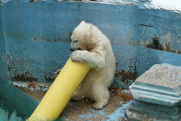 大阪天王寺動物園 シロクマのモモちゃん_a0003650_22151384.jpg