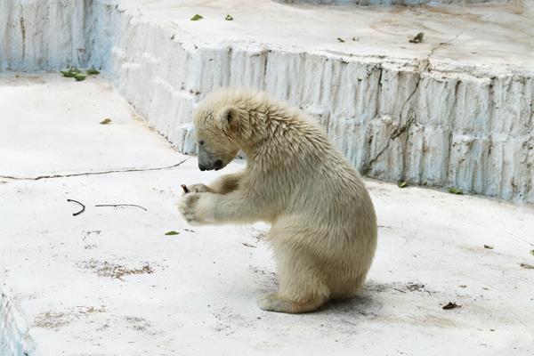 大阪天王寺動物園 シロクマのモモちゃん_a0003650_2223553.jpg