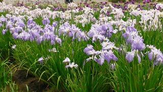 2015年 花菖蒲祭り_c0208355_1718284.jpg