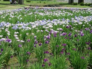 2015年 花菖蒲祭り_c0208355_17205620.jpg
