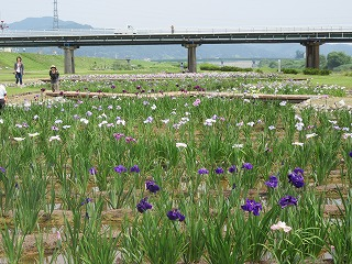 2015年 花菖蒲祭り_c0208355_1721777.jpg