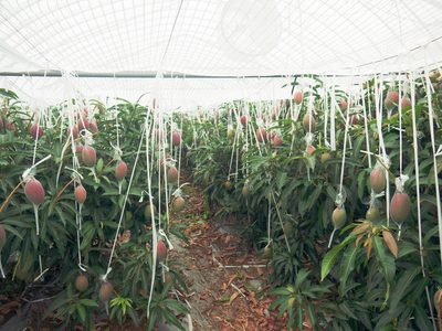 完熟アップルマンゴー 完熟マンゴーへのこだわりと発送日について!_a0254656_19281679.jpg