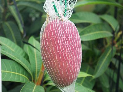 完熟アップルマンゴー 完熟マンゴーへのこだわりと発送日について!_a0254656_19295980.jpg