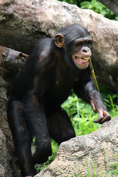 のいち動物公園のチンパンジー