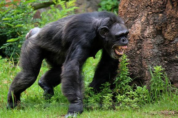 チンパンジーの走る姿